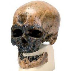 Antropologický model lebky - Crô-Magnon - Homo sapiens sapiens