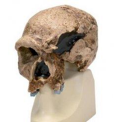 Antropologický model lebky - Steinheim - Homo sapiens steinheimensis