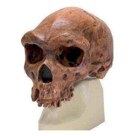 Antropologický model lebky - Kabwe - Homo sapiens rhodesiensis
