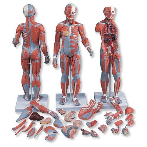 Model lidského svalstva - oboupohlavní - 33 částí