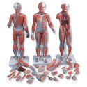 Model lidského svalstva - oboupohlavní - 33 částí - Doprodej