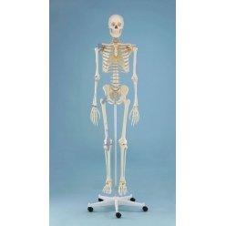 Model kostry člověka s vazy - na pohyblivém stojanu