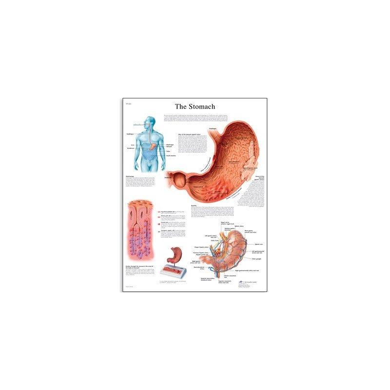 Schéma - lidský žaludek - AJ - 50x67 cm