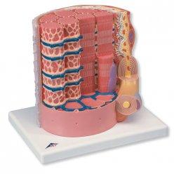 Model lidského kosterního svalového vlákna - 10 000x zvětšeno