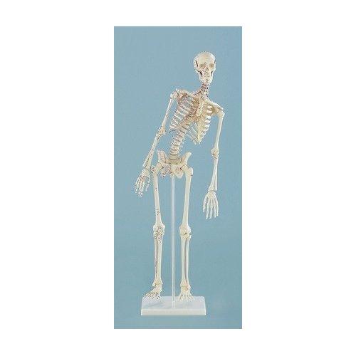 Mini model kostry člověka - s pohyblivou páteří - s vyznačením svalů