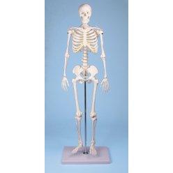 Mini model lidské kostry