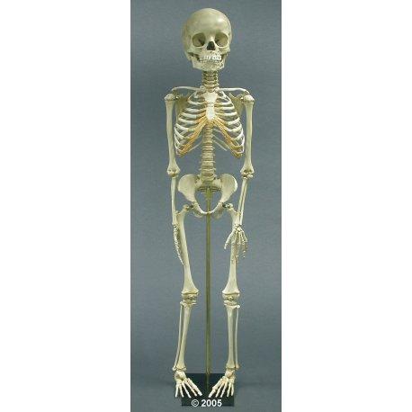 Model kostry dítěte - 5 let