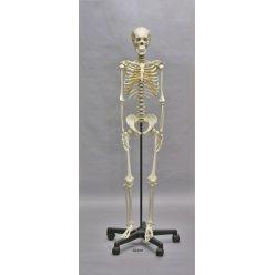 Model kostry dospívajícího člověka