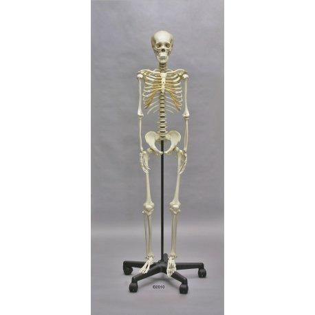Model kostry dospělého člověka