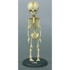 Model kostry lidského plodu - 30.týden