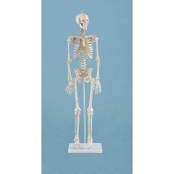 Mini model kostry člověka - s vyznačením svalů