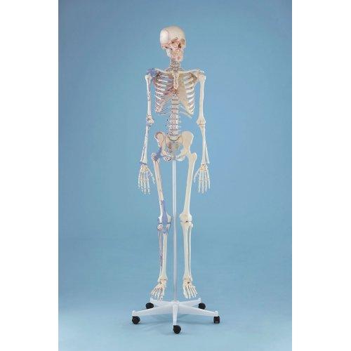 Model kostry člověka - s vazy - s vyznačením svalů