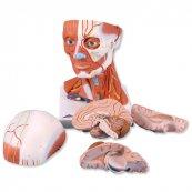 Model lidského svalstva krku a hlavy - 5 částí