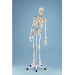 Model kostry člověka s vazy a pohyblivou páteří