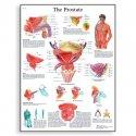 Schéma - lidská prostata - AJ - 50x67 cm