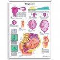 Schéma - těhotenství - AJ - 50x67 cm