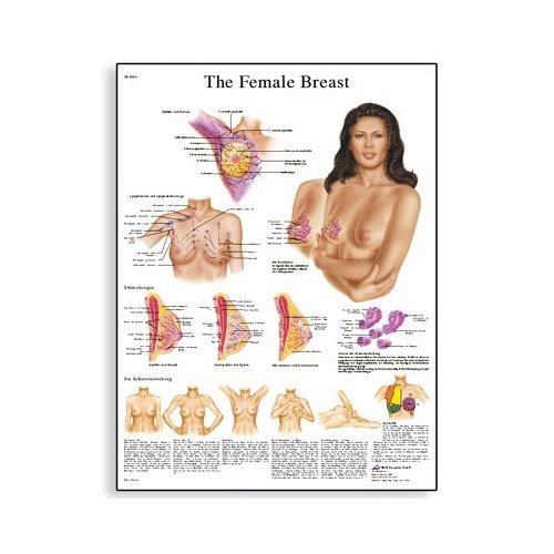 Schéma - ženská prsa - AJ - 50x67 cm