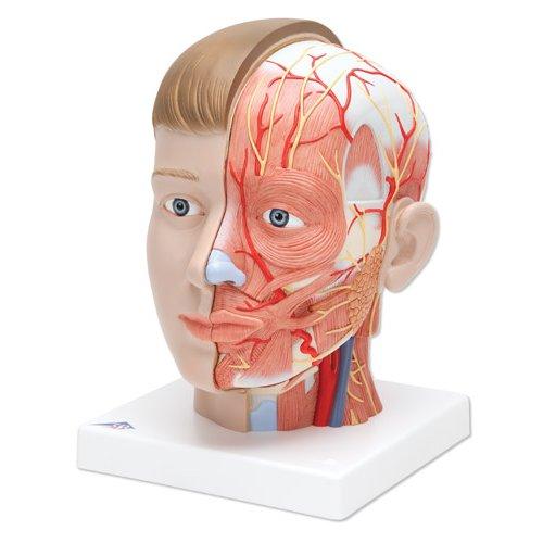 Model lidské hlavy s krkem - 4 části - evropský typ