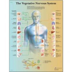 Schéma - vegetativní nervový systém - AJ - 50x67 cm