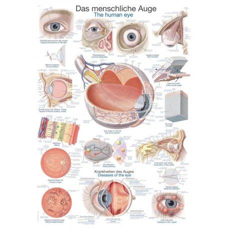 Schéma - struktura lidského oka