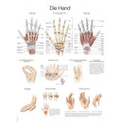 Schéma - lidská ruka