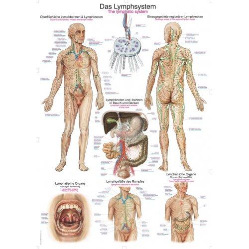 Schéma - lidský lymfatický systém