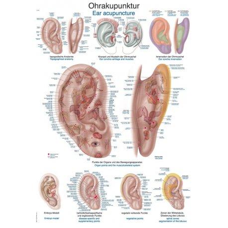 Schéma - akupunkturní body ucha