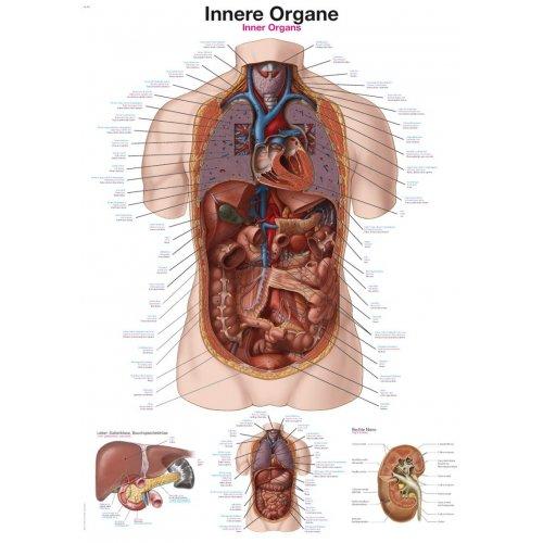 Schéma - vnitřní orgány