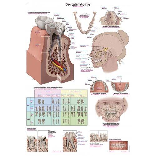 Schéma - anatomie zubů