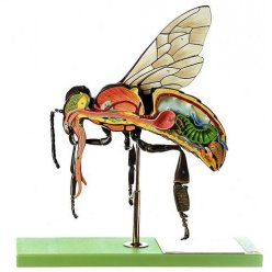 Model včely dělnice - Apis mellifera
