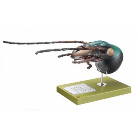 Model hlavy střevlíka - carabus auratus