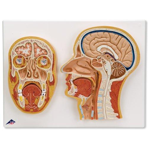 Mediální a čelní řez lidskou hlavou