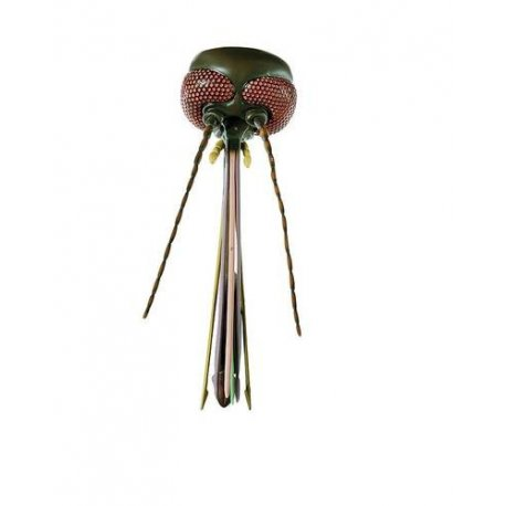 Model hlavy komára - Culex pipiens