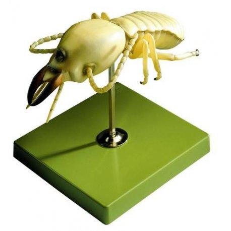 Model termita - Coptotermes acinaciformis
