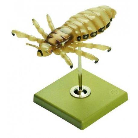 Veš dětská model - Peaculus humanus