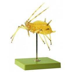 Model mšice - Macrosiphum rosae