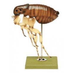 Model blechy - Ctenocephalides felis