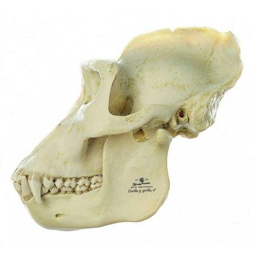 Lebka gorilího samce - model