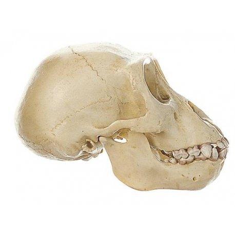 Lebka gorilího mláděte - model