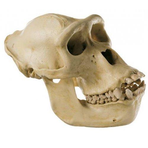 Lebka gorilího samice - model