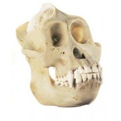 Model lebky orangutana - samec