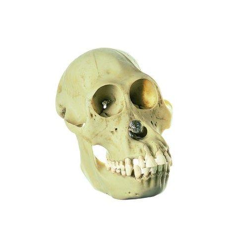 Model lebky orangutana - samice
