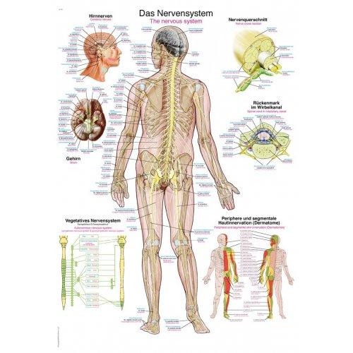 Schéma - lidský nervový systém
