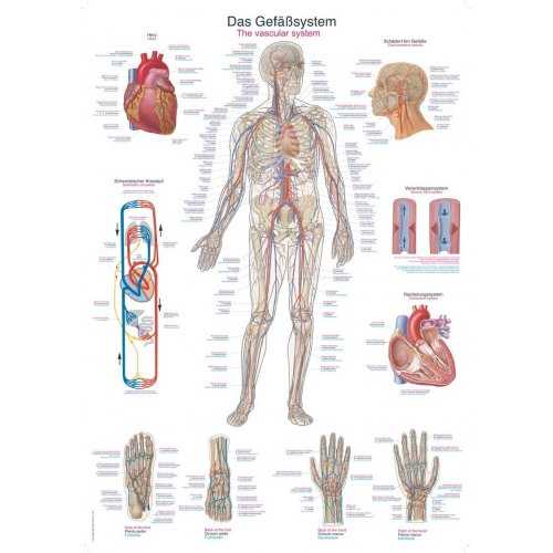 Schéma - lidský cévní systém