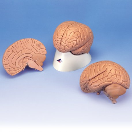 Mozek - ekonomický model - 2 části