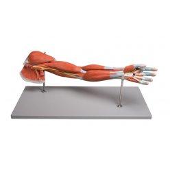 Model svalstva horní končetiny - 7 částí