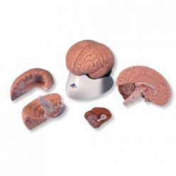 Model lidského mozku - 4 části