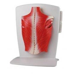 Model svalstva zad - 4 části