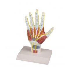 Model anatomické struktury ruky