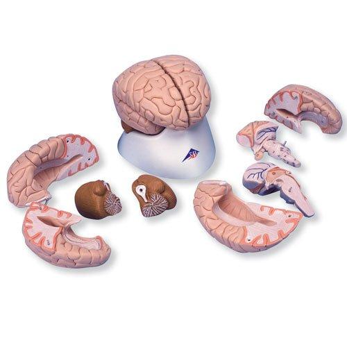 Model lidského mozku - 8 částí